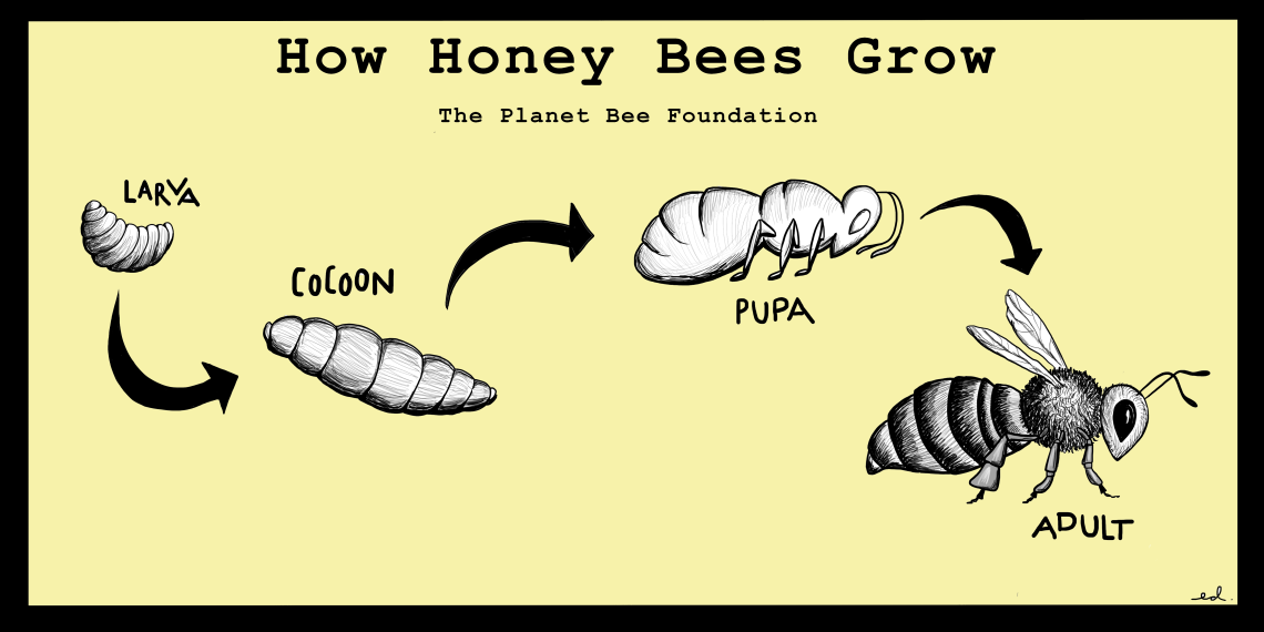 How Honey Bees Grow POSTER.png