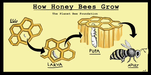 How Honey Bees Grow POSTER better.png